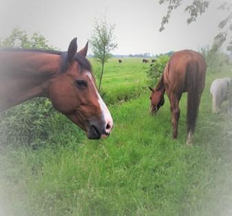 paarden in de weide